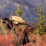 Moose in Alaska's Boreal Forest