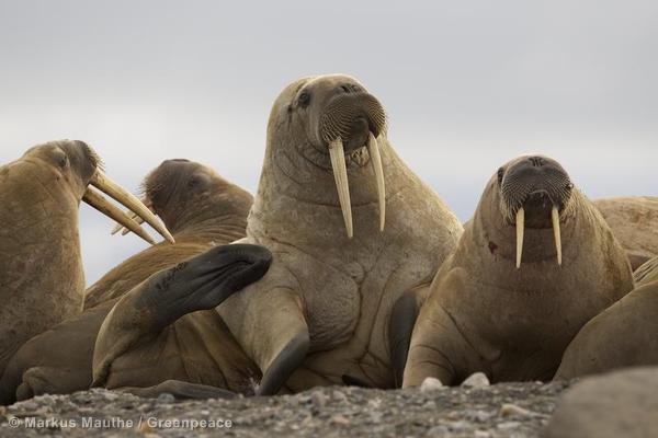 Walrus Colony in the ArcticWalross Kolonie in der Arktis.