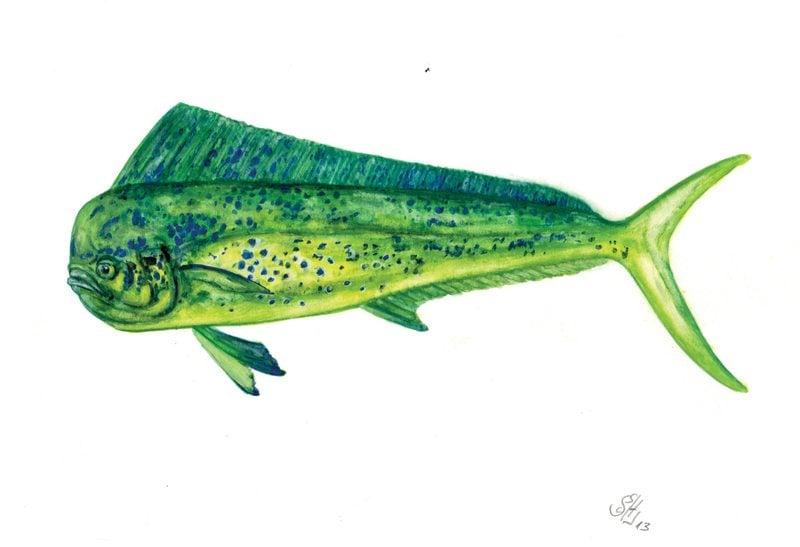 Mahi mahi greenpeace usa for Mahi mahi fish