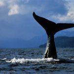 Humpback Whale, Alaska, USA