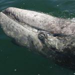 Grey Whale in the San Ignacio Lagoon