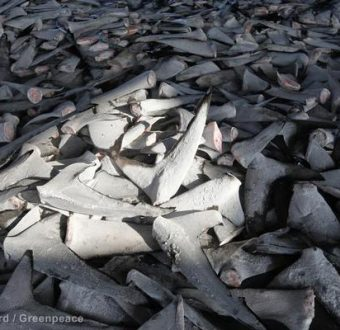 Shark Fins at Fish Market in Taiwan
