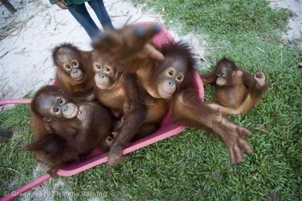 #NutellaGate - Orangutan Family