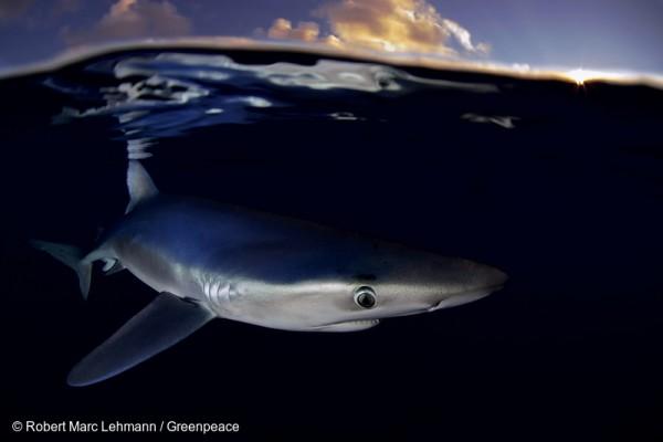 Blue Shark near the Azores