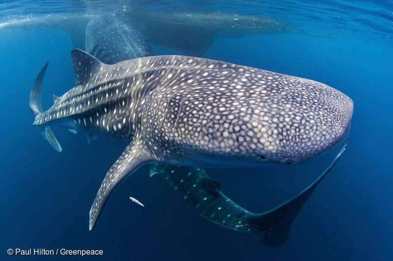 Whale Sharks in Cenderawasih Bay