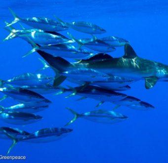 Shark Photo by Paul Hilton