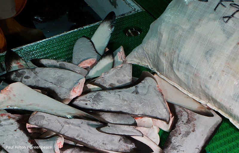Shark fins found in the freezer of the Shuen De Ching No.888.