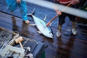 Dead Tuna on Longline Fishing Vessel in the Pacific Ocean