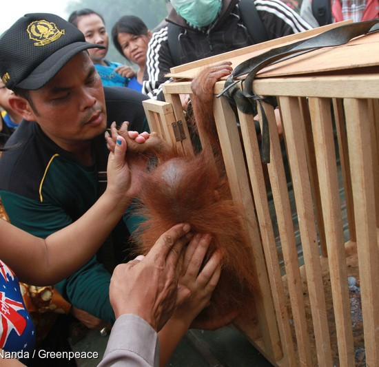 Ayu helps an officer from the National Conservation Agency place Otan into the cage.