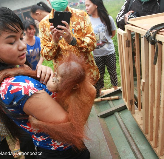 Ayu carries baby Otan to a cage so he can be taken to an orangutan sanctuary.