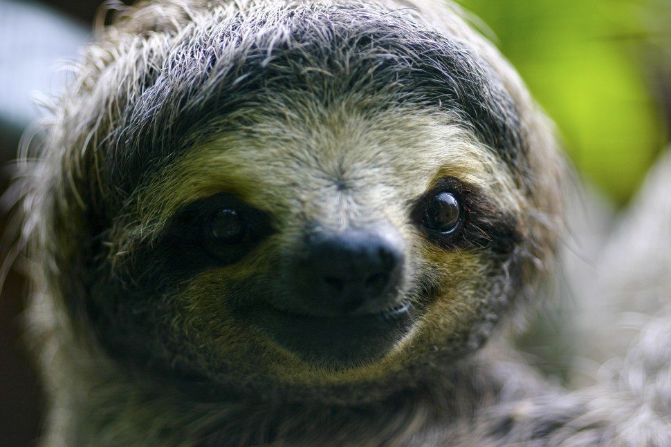 Podcast: Why Are Sloths So Cute?