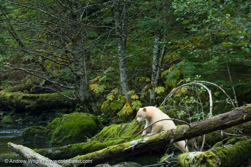 A bear climbs over a fallen tree in the Great Bear Rainforest in British Columbia, Canada