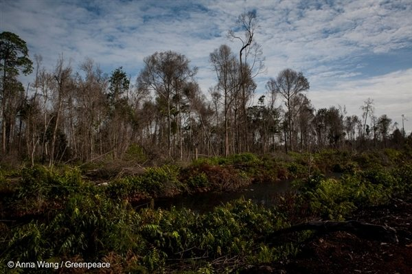 Degraded peatland forest in Sungai Tohor village, Riau province, Indonesia. Canals are dug by companies to drain the peatlands, making them vulnerable to fire.