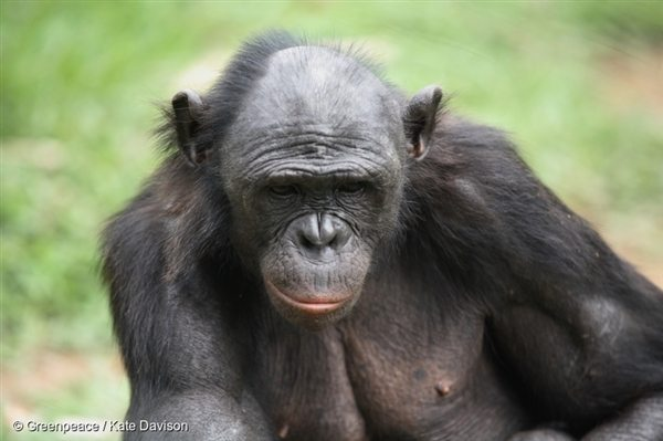 A bonobo in a bonobo rehabilitation center near Kinshasa. Bonobos were the last of the great apes to be discovered and live exclusively in the Democratic Republic of the Congo, 3 Feb, 2007, © Greenpeace / Kate Davison