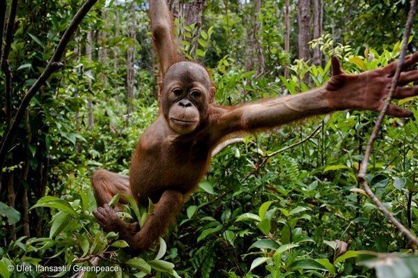 Orangutan in Central Kalimantan, Indonesia, 14 Sep, 2013, © Ulet Ifansasti / Greenpeace Swinging