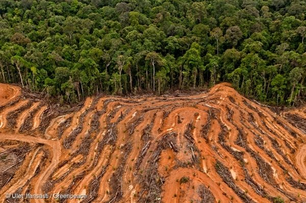 P & G Palm Oil Supplier Concession in Kalimantan 10 Mar, 2014, © Ulet Ifansasti / Greenpeace
