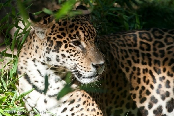 Jaguar in Calilegua National Park, 8 Apr, 2012, © Martin Katz / Greenpeace