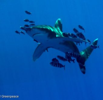 Oceanic whitetip shark and pilot fishes off the Egyptian coast.