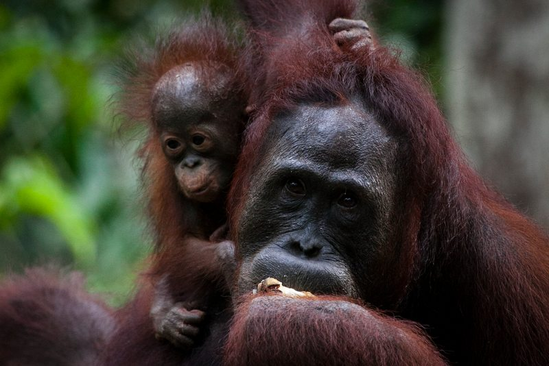 Orangutans in area recently removed from the Tanjung Puting National Park and allocated for palm oil production.