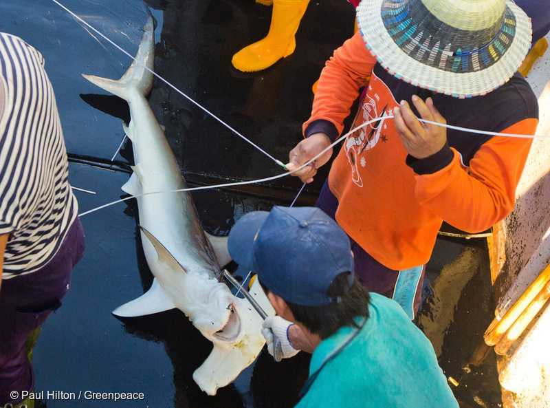 A smooth hammerhead shark (Sphyrna zygaena) is hauled on-board Taiwanese longliner, Sing Man Yi 6, in the Pacific Ocean. Greenpeace travels into the Pacific to expose out of control tuna fisheries. Tuna fishing has been linked to shark finning, overfishing and human rights abuses.