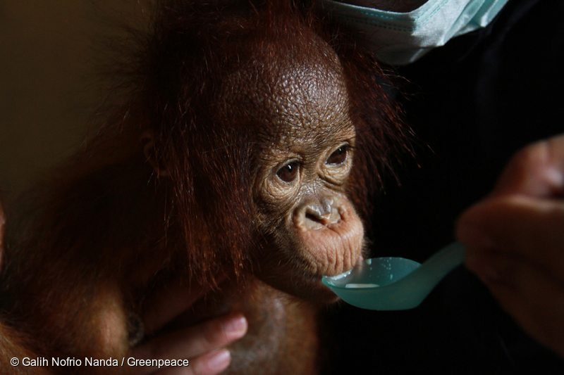 Otan, a 7 month old orangutan who was rescued from the forest fires