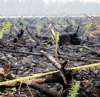A crime scene: burned peatland and forest remains, planted with oil palm seedlings.