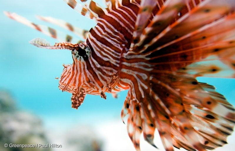 A lion fish in the clear water of a coral atoll in the Maldives. The Maldives is one of the countries most seriously threatened by the effects of climate change like sea level rise and erosion. Its spectacular underwater world could also soon be under threat as reef corals are extremely sensitive to rise in sea water temperatures.