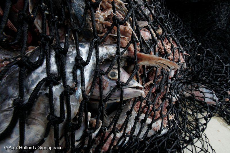 Tuna is seen caught in the net of the purse seine fishing vessel.