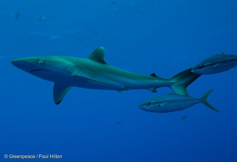 Juvenile silky shark