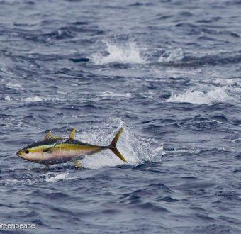 A yellowfin tuna (Thunnus albacares) breaks the surface of the Pacific Ocean.