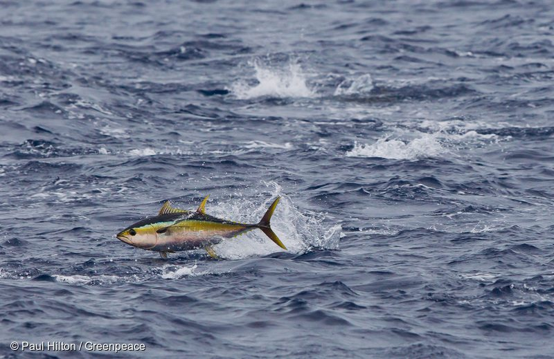 A yellowfin tuna (Thunnus albacares) breaks the surface of the Pacific Ocean.
