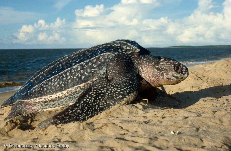 Leatherback turtle crawls on the beach to nest. French Guiana.