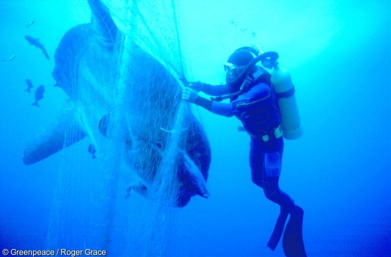 Greenpeace diver freeing a sunfish caught in a Japanese driftnet, Tasman Sea.