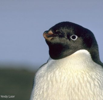 The Ross Sea is home to 38 percent of the world population of Adélie penguins. And now it will be an Ocean Sanctuary!