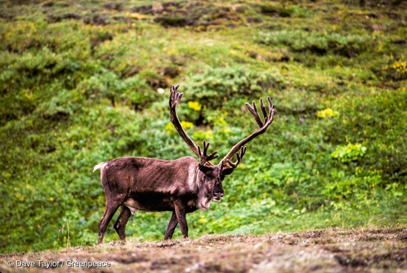 Malnourished mature caribou