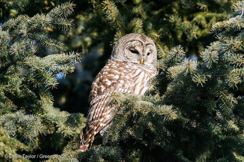 Barred Owl in Canadian Boreal Forest