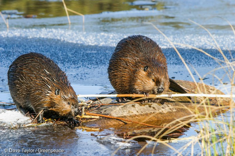 Beaver in Canadian Boreal Forest