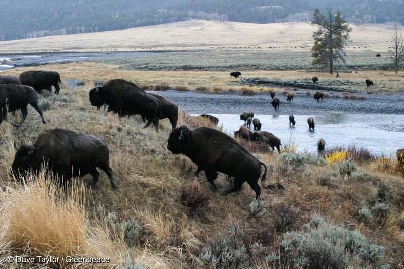 Wood Bison in Canadian Boreal Forest