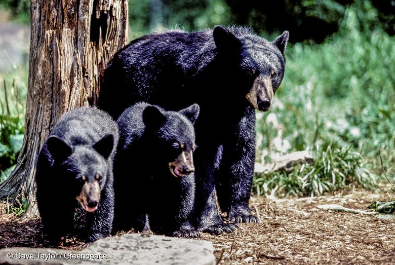Black Bears in Canadian Boreal Forest