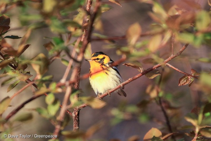 Blackburnian Warbler in Canadian Boreal Forest