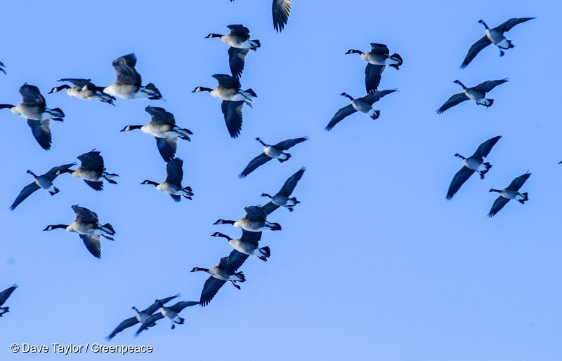 Canada Geese in Canadian Boreal Forest
