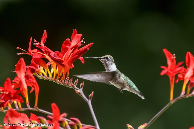 Ruby-throated Hummingbird in Canadian Boreal Forest