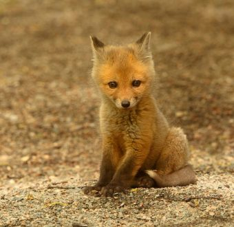 Red Fox Kit in Canadian Boreal Forest