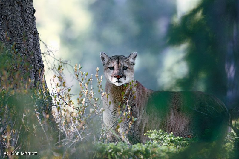 Wild Mountain Lion in Canada