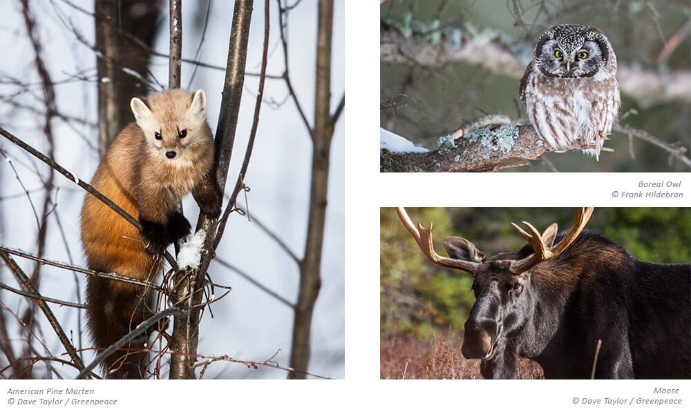 Images of the woodland caribou, Boreal owl, and moose