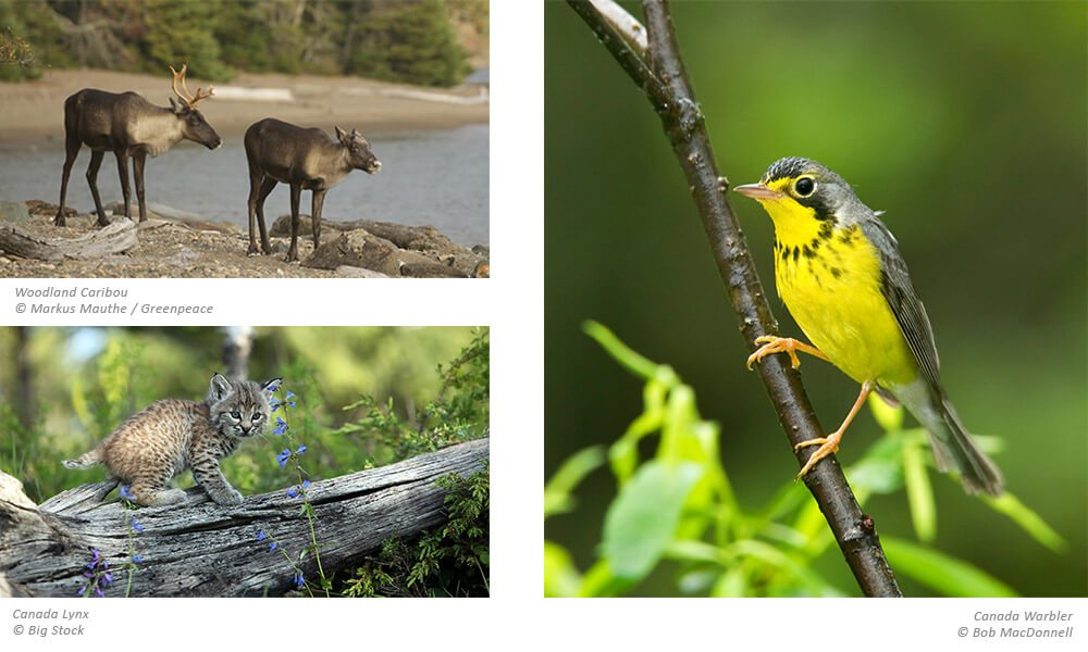 Images of Woodland Caribou, Canada Lynx, and Canada Warbler