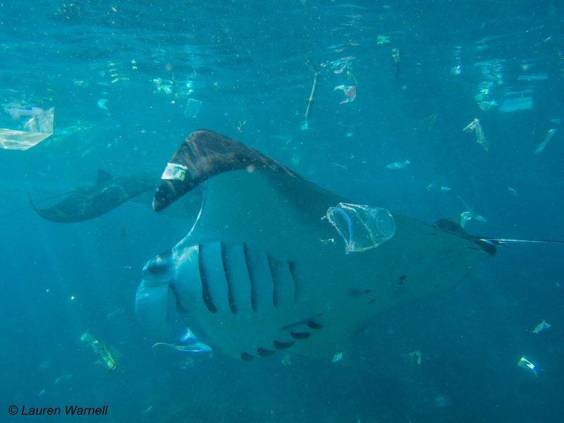 Manta Ray swims amongst Plastic Waste in Indonesia