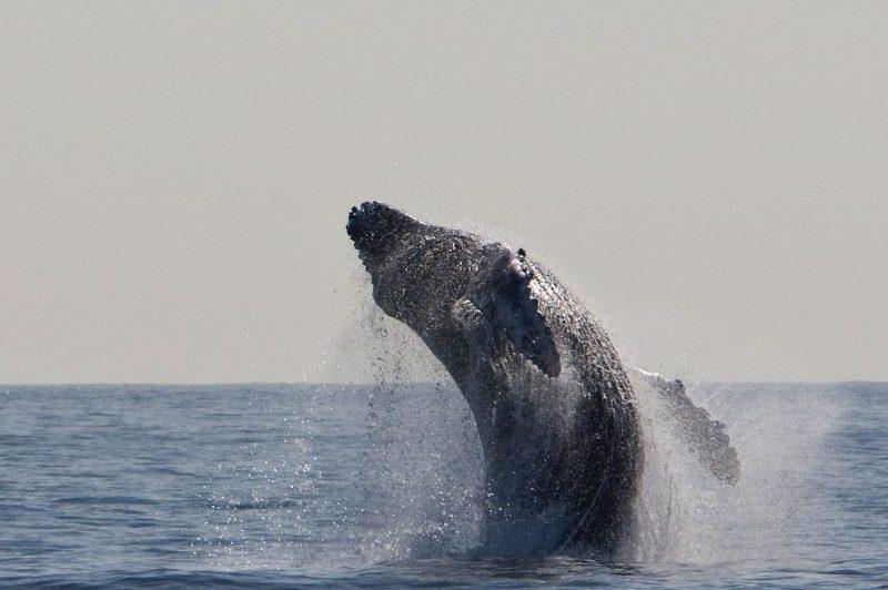 Humpback Whale Breaches