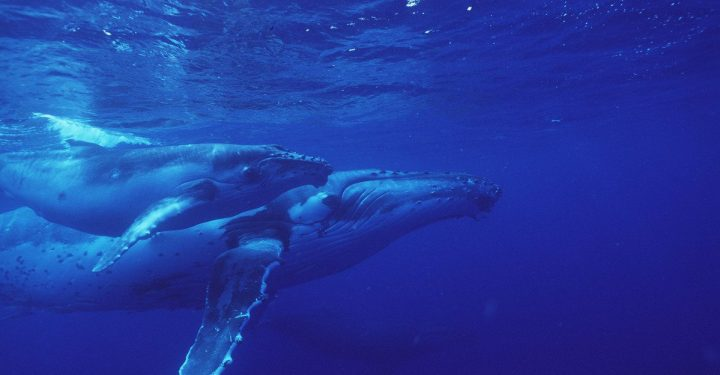 Humpback whale with young (Megapetra noveangliae). Buckelwal (Megapetra noveangliae).