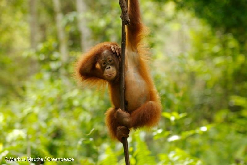 Young orangutan hanging on a liana vine near Palangka Raya, Central Kalimantan.